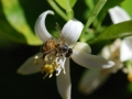 lemon-bee