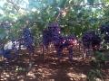 uva-rosata
