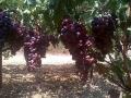 uva-rosata2